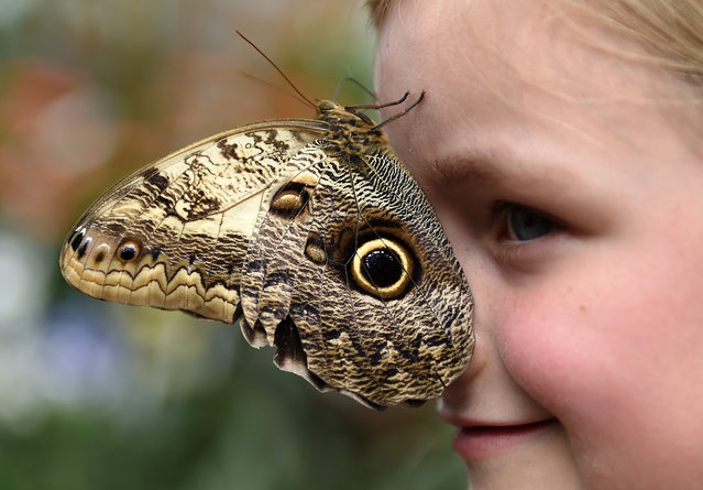 An Owl Wing Butterfly rests on the face of a young girl at a butterfly exhibition at the Natural History Museum in London, Britain, 31 March 2015. Hundreds of  tropical butterflies are on show at the exhibit that runs from 02 April to 13 September. (Photo by Andy Rain/EPA)
