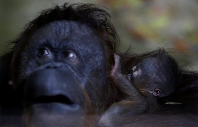 Nuninka, Bornean orangutan (Pongo pygmaeus), holds her newborn baby in the enclosure at Usti nad Labem Zoo, Usti nad Labem, Czech Republic January 3, 2017. (Photo by David W. Cerny/Reuters)
