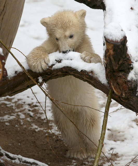 The 4-month-old polar bear cub makes its first experience with snow at his enclosure at the zoo in Rostock, northern Germany, Tuesday, March 31, 2015. Some 3,000 emails, letters and calls recently reached the zoo during its search for a name of the young male bear. On Tuesday he was given the name Fiete. (Photo by Bernd Wuestneck/AP Photo/DPA)