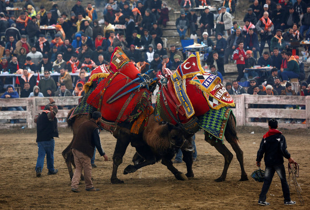 Two wrestling camels fight at the Pamucak arena during the annual Selcuk-Efes Camel Wrestling Festival in the Aegean town of Selcuk, near Izmir, Turkey, January 15, 2017. (Photo by Murad Sezer/Reuters)