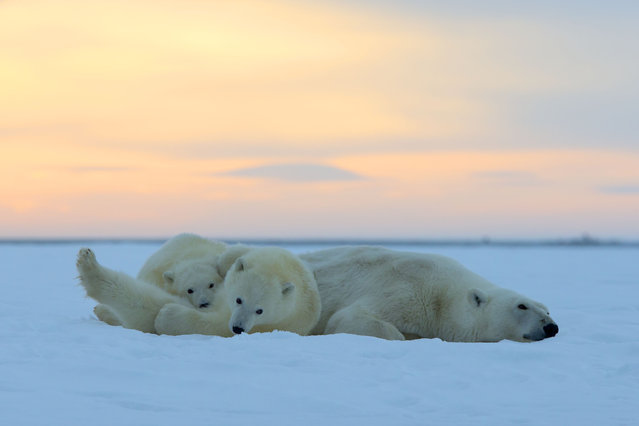 Polar Bear – Mother with two cubs. (Photo by Sylvain Cordier/Caters News)