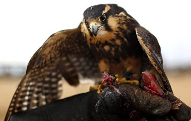 Baraka, a female Aplomado Falcon, eats quail meat as she perches on the hand of her trainer Raul Palacios during a demonstration of his training techniques at the bay of Asuncion, Paraguay, on January 11, 2014. (Photo by Jorge Saenz/Associated Press)