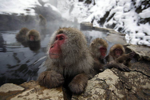 Japanese Macaques (or Snow Monkeys) gather to soak in a hot spring at a snow-covered valley in Yamanouchi town, central Japan January 20, 2014. (Photo by Issei Kato/Reuters)