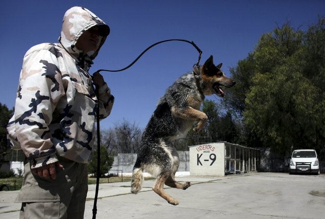 A dog trainer works with a previously abandoned dog at a police centre in Saltillo, Mexico March 4, 2016. (Photo by Daniel Becerril/Reuters)