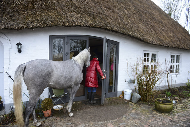 Nasar, an Arabian horse, waits to go inside the house of doctor Stephanie Arndt on February 19, 2014 in Holt, Germany. (Photo by Patrick Lux/Getty Images)