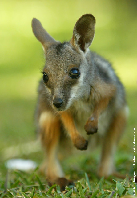 Baby yellow-footed Rock Wallaby
