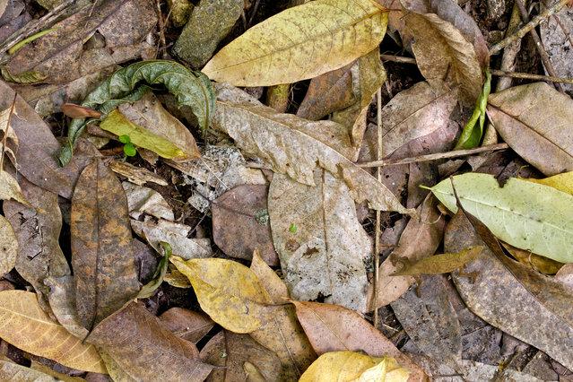 Ground chameleon. (Photo by Paul Bertner/Caters News)