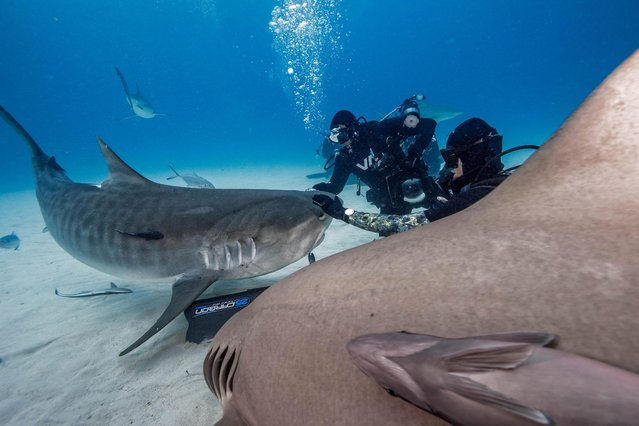 The giant fish pay close attention to the cameras focused on them. (Photo by Steve Hinczynski/Mediadrumworld)