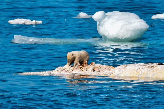 A polar bear cub eats a whale by Wrangel Island at Chukotka Autonomous Area, Russia on July 12, 2019. (Photo by Yuri Smityuk/TASS)