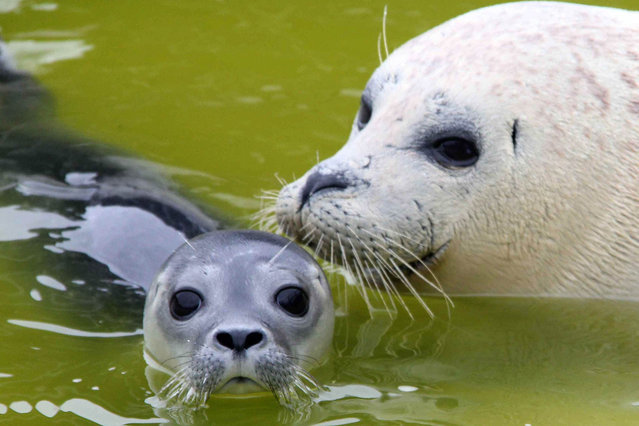 A baby seal, just several hours old, swims next to its mother in the basin of the West Coast Park in St. Peter Ording, northern Germany, 26 June 2011. The seal was born in the night from 25 to 26 June. (Photo by Wolfgang Runge/EPA)