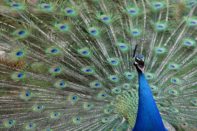 A male peacock displays its tail feathers and shakes them to attract the attention of female peacocks at Gut Aiderbichl in Henndorf, Austrian province of Salzburg, Saturday, April 26, 2014. Gut Aiderbichl is a place of mercy for rescued animals. (Photo by Kerstin Joensson/AP Photo)