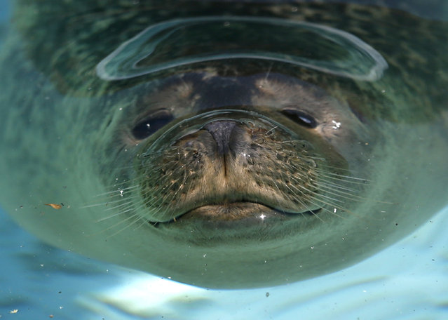 A seal cool off during a heat wave in Belgrade Zoo, Serbia, Wednesday, July 8, 2015. Hot weather has set in with temperatures rising up to 38 Celsius (100,5 Fahrenheit) in Belgrade. (Photo by Darko Vojinovic/AP Photo)