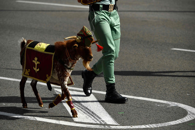 Spanish Legion's masco goat parades during the Spanish National Day military parade in Madrid on October 12, 2019. (Photo by Oscar Del Pozo/AFP Photo)