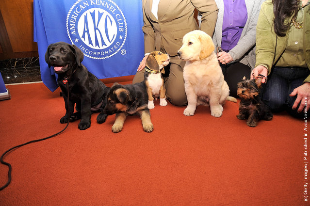 (L-R) Brooklyn's Deli, a black Labrador Retriever pup, Ziva, a German Shepherd pup, Jag, a Beagle pup, Toby, a Golden Retriever pup, and Sierra, a Yorkshire Terrier pup attend as American Kennel Club announces Most Popular Dogs in the U.S. at American Kennel Club Offices