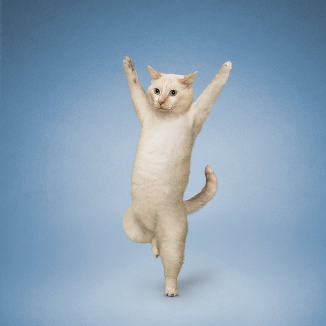 Yoga Cats By Daniel Borris