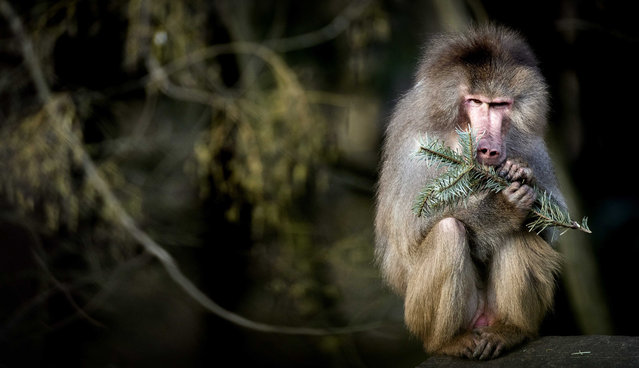 A baboon nibbles on the branch of an old Christmas tree at the Amersfoort Zoo in Amersfoort, The Netherlands, 06 January 2019. The animals at the zoo are donated thre trees for eating and playing by visitors who bring them to the animal park after the the Christmas holiday season. (Photo by Koen van Weel/EPA/EFE)