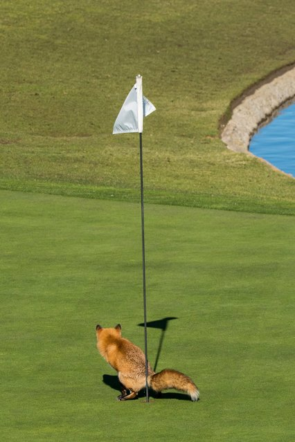 "A red fox surveys his shot in Douglas Croft's ""Must Have Three-Putted"", on January 25, 2017 in San Jose, California. (Photo by Douglas Croft/CWPA/Barcroft Images)"