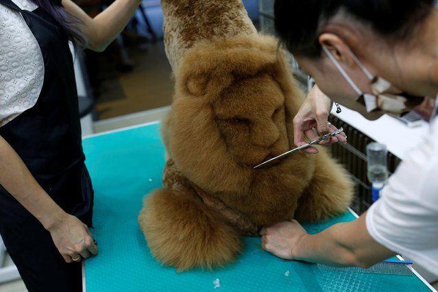 An employee trims a lion head into the fur of a dog at a pet shop, in Tainan, Taiwan June 19, 2016. (Photo by Tyrone Siu/Reuters)