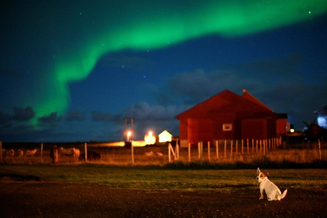 A dog stands under northern lights on September 30, 2018,  in Unstad, Northern Norway. (Photo by Olivier Morin/AFP Photo)