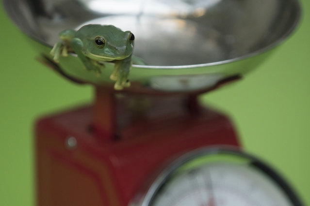 """A Fea's Flying Frog is weighed on a scale during a photocall to promote the London Zoo annual """"weigh-in"""" event on August 24, 2017 in London, England. (Photo by Dan Kitwood/Getty Images)"""