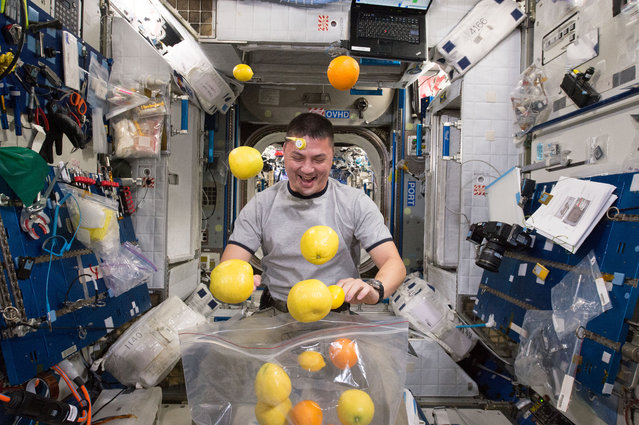 This NASA photo obtained August 27, 2015 shows NASA astronaut Kjell Lindgren corrals the supply of fresh fruit that arrived August 25, 2015 on the Kounotori 5 H-II Transfer Vehicle (HTV-5.) Visiting cargo ships often carry a small cache of fresh food for crew members aboard the International Space Station. (Photo by AFP Photo/NASA)