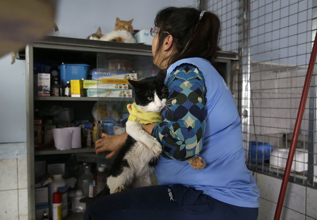In this August 6, 2014 photo, Maria Torero gets ready to medicate a sick cat at her Cat Hospice, where Torero looks after 175 cats that suffer from feline leukemia, at her home in Lima, Peru. For five years, Torero has ministered to the sick felines, attempting to improve their quality of life as they slowly succumb to the common, fatal retrovirus. (Photo by Martin Mejia/AP Photo)