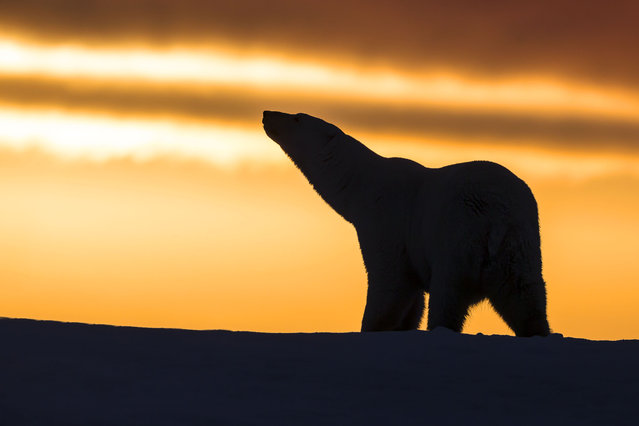 A Polar Bear walking in the sunset at Kaktovik in the  Arctic National Wildlife Refuge, Alaska. (Photo by M. Watson/Caters News/Ardea)