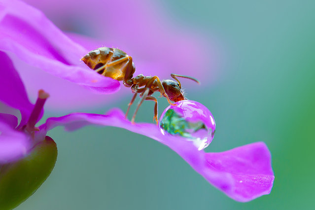 A macro view of an ant taking a sip from a water droplet on the edge of a flower in Obihiro, Japan. Animal-Lover Miki Asai has gone a step beyond feeding bread to the ducks – by syringe-feeding water to tiny ants. The office worker from Obihiro City, Japan, squirts droplets near the tiny insects and then uses a macro lens to capture quenching their thirst. The amateur photographer started capturing these images near her house in July 2013 after spotting an ant struggling in the rain. (Photo by Miki Asai/Barcroft Media)