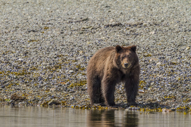 A brown bear walks along the water, in May 2014, on Admiralty Island, Alaska. Driving in an open-roofed jeep is no longer the fashionable way to see wildlife – as this adventurer shows.(Photo by Daniel Fox/Barcroft Media)