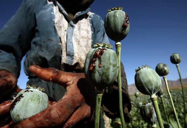 Afghan men harvest opium in a poppy field in a village in the Golestan district of Farah province, May 5, 2009. (Photo by Goran Tomasevic/Reuters)