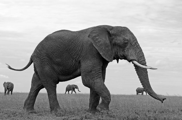 """""""Proportions..."""" A herd of elephants approached our car in the Serengeti, Tanzania. When the biggest male walked by, he turned sideways and I could see the rest of the herd in the background between his legs – putting things in proportion... Photo location: Serengeti, Tanzania. (Photo and caption by Yaron Schmid/National Geographic Photo Contest)"""