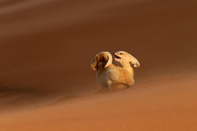 """""""Fennec, the soul of the desert"""". El fénnec es el alma del desierto, un alma salvaje y libre cuya amenaza principal es el tráfico ilegal por parte de desalmados sin escrúpulos que no dudan lo más mínimo en arrebatarle la vida de entre las majestuosas dunas para cambiarla por los fríos barrotes de una jaula cárcel. Photo location: Sahara Desert. (Photo and caption by José Mingorance/National Geographic Photo Contest)"""