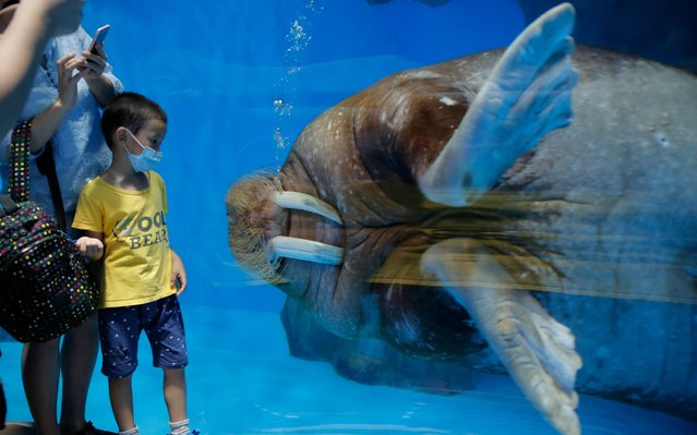 A guest wearing a face mask to prevent the spread of the new coronavirus, looks at a walrus at Ocean Park in Hong Kong, Saturday, June 13, 2020. Hong Kong Ocean Park reopened Saturday after nearly four months of closure due to the coronavirus pandemic. The animal and nature-themed attraction combines pandas, penguins, roller coasters and other rides, and has been a Hong Kong icon since its opening in 1977. (Photo by Kin Cheung/AP Photo)