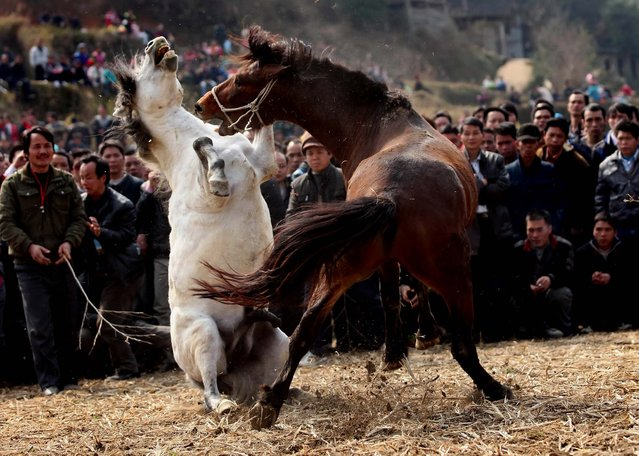 Two stallions confront each other at a horse fighting contest in Rongshui, China. More than 30 horses from surrounding regions took part in the traditional activity of the Lantern festival. (Photo by China Foto Press)