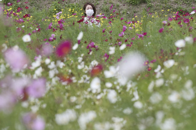A visitor wearing a face mask to protect against the spread of the coronavirus strolls through cosmos fields at Kurihama Flower Park in Yokosuka, south of Tokyo, Tuesday, September 22, 2020. About 1 million cosmos are in full bloom. (Photo by Koji Sasahara/AP Photo)