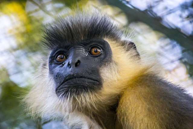 A capped langur seen at Assam State Zoo cum Botanical Garden on November 15, 2014 in Guwahati, the capital city of north-eastern state of Assam, India.  The Capped langur is one of the most endangered primate species in India.(Photo by Luit Chaliha/Barcroft India)