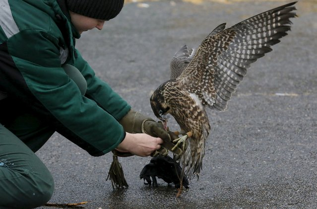 Daria Zhirnova, an employee of the ornithological department of the Royev Ruchey Zoo, feeds Sapa, young female Asian peregrine falcon, also known as Sapsan in Russia during a training session outside the Siberian city of Krasnoyarsk, Russia, October 21, 2015. Sapa and its brother peregrine Sky are involved in the zoo project to tame wild animals for research and their interaction with visitors, according to zoo employees. (Photo by Ilya Naymushin/Reuters)