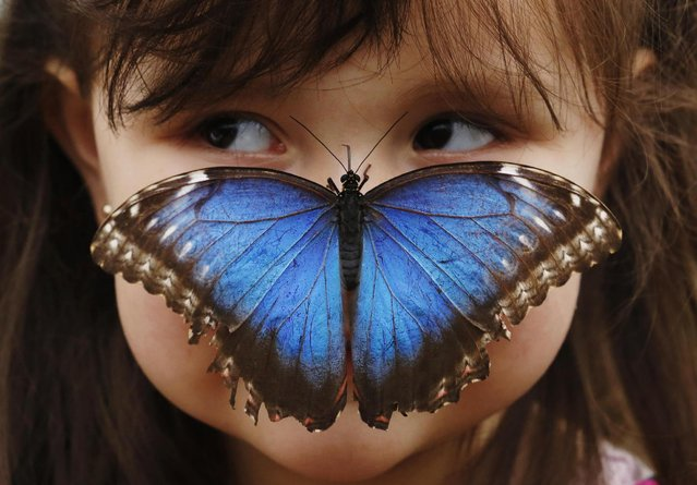 Stella Ferruzola, 3, poses with a Blue Morpho butterfly on her nose at the Sensational Butterflies Exhibition at the Natural History Museum in London March 25, 2013. (Photo by Luke MacGregor/Reuters)