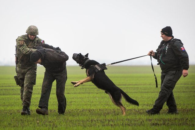 """A Slovak soldier (L) and a Slovak policeman (R) with a dog detain a man playing the role of an """"illegal migrant"""" during a joint exercise of Slovak police and Slovak Army, focused on protecting public order at the borders near Bratislava, on October 29, 2015. Slovakia, a nation of 5,4 million people is among several eastern EU members staunchly opposed to a quota system distributing refugees among the bloc's 28 members. (Photo by Vladimir Simicek/AFP Photo)"""