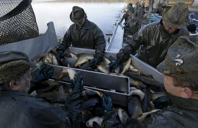 Fishermen sort fish during the traditional carp haul in the village of Smrzov, near the south Bohemian town of Trebon, Czech Republic, November 2, 2015. (Photo by David W. Cerny/Reuters)