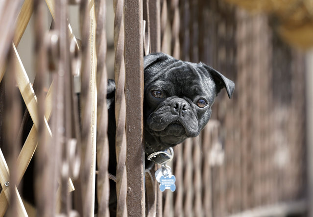 A small dog looks through porch rails to watch passersby on a sunny morning Monday, April 22, 2013,  in West New York, N.J. (Photo by Mel Evans/AP Photo)