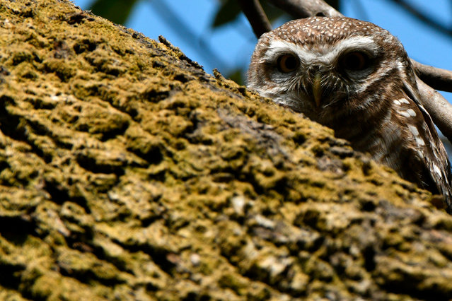 A spotted owlet is seen on a tree branch in Kathmandu on January 31, 2021. (Photo by Prakash Mathema/AFP Photo)