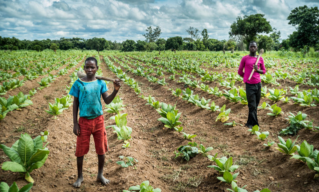 Dionetsetse Dickson (left), 14, and brother John Kennedy Dickson, 16, who have been working on the farm full-time for the past year. (Photo by David Levene/The Guardian)