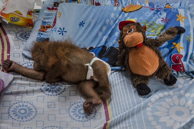 Dina, a sumatran orangutan (Pongo abelii) who was rescued from illegal trade, suffering from malaria cerebral, is seen sleeping in clinic facility at Sumatran Orangutan Conservation Programme's rehabilitation center on November 10, 2016 in Kuta Mbelin, North Sumatra, Indonesia. (Photo by Ulet Ifansasti/Getty Images)