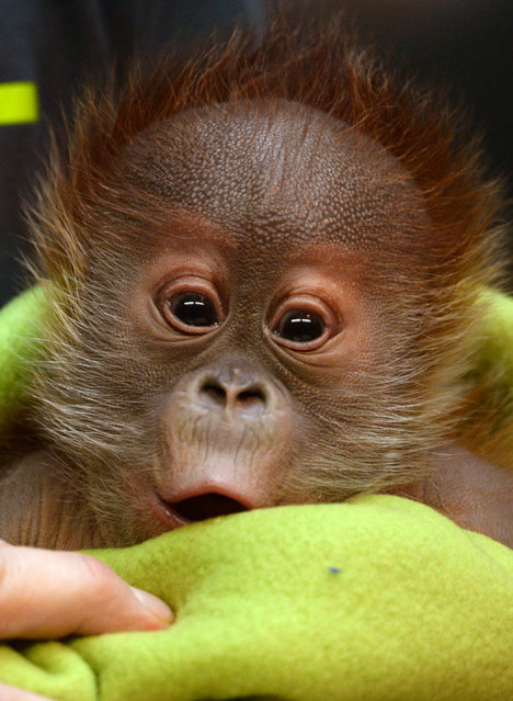 Female orangutan baby Rieke is shown during  a news conference at the Berlin Zoo Friday February 6, 2015.  Rieke was born on January 12, 2015. (Photo by Ralf Hirschberger/AP Photo/DPA)
