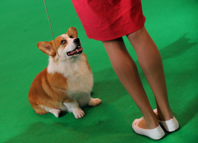 A Welsh corgi competes in the ring with its owner on the second day of Crufts dog show at the National Exhibition Centre in Birmingham, England, Friday March 6, 2015. First held in 1891, Crufts is said to be the largest show of its kind in the world, the annual four day event features thousands of dogs competing for the coveted title of 'Best in Show'. (AP Photo/Rui Vieira)