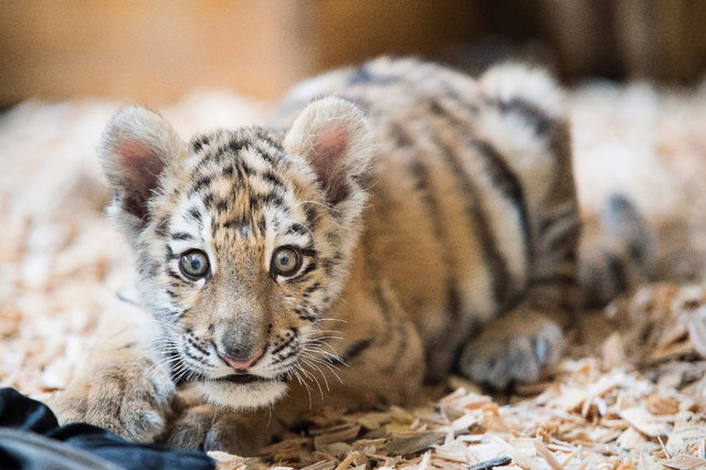 Twelve-week-old female tiger cub Alisha sits in her cage at Tierpark Berlin, Germany, 05 March 2015. The little Amur tiger is moving to Eberswalde Zoo on 10 March. (Photo by Gregor Fischer/EPA)
