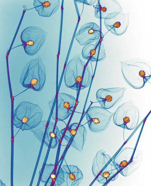 Garland of lights designed to look like Japanese lantern flowers, coloured X-ray. (Photo by Paula Fontaine/Barcroft Media)