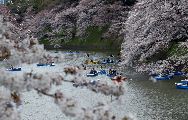 People row their boats in the Imperial moat under the canopy of the cherry blossoms in Tokyo, Sunday, March 29, 2015. (Photo by Shizuo Kambayashi/AP Photo)