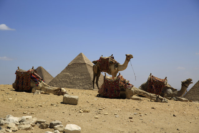 Camels rest as tour guides wait for visitors to offer rides at the Giza Pyramids in Giza, near Cairo, Egypt, Thursday, April 9, 2015. Giza, home to the three famed Pyramids and Sphinx, has seen few visitors in recent years. The past four years have seen repeated eruptions of violence. Since the ouster of Islamist President Mohammed Morsi, political violence has persisted, including militant attacks and violent protests. (Photo by Hassan Ammar/AP Photo)